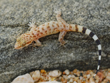 A Young Socotran Ground Gecko (Hemidactylus Homoeolepis) Endemic to Socotra  Yemen