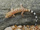 A Young Socotran Ground Gecko (Hemidactylus Homoeolepis) Endemic to Socotra  Yemen