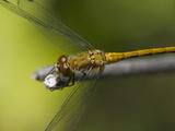 Ruby Meadowhawk Dragonfly (Sympetrum Rubidunculum)