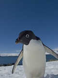 Adelie Penguin (Pygoscelis Adeliae) at Arctovski Research Station  South Shetland Islands