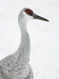 Sandhill Crane Head  Grus Canadensis  North America