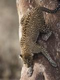 African Leopard Climbing Down a Tree (Panthera Pardus)  Masai Mara Game Reserve  Kenya