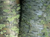 Lichens Growing on the Bark of Paper Birch Trees  Betula Papyrifera  USA