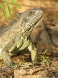 Green Iguana Head (Iguana Iguana)  Pantanal  Brazil