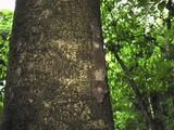 Henkel's Leaf-Tailed Gecko Camouflaged on a Rainforest Tree Trunk (Uroplatus Henkeli)