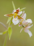 Marsh Helleborine Orchid (Epipactis Palustris)  Italy