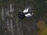Male Andean Condor Flying (Vultur Gryphus)  Puracâ» National Park  Department Cauca  Colombia