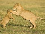 African Lion Cubs Playing (Panthera Leo)  Masai Mara  Kenya