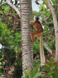 Female Black Lemur (Eulemur Macaco Macaco) Lokobe Nature Special Reserve  Northern Madagascar