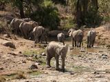 African Elephant (Loxodonta Africana) Herd at Waterhole  Samburu Game Reserve  Kenya  Africa