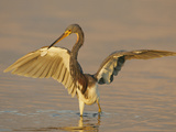 Tricolored Heron in Winter Plumage with its Wings Lifted While Fishing  Egretta Tricolor  Florida