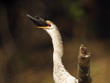 Anhinga (Anhinga Anhinga) Eating Fish  Pantanal  Brazil  South America