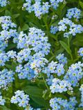 Forget-Me-Not Flowers (Myosotis Alpestris)  Alaska State Flower
