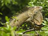 Iguana (Iguana Iguana) Climbing in Tree  Costa Rica