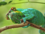 Male Panther Chameleon (Furcifer Pardalis)  Lokobe Nature Special Reserve  Nosy Be  Madagascar