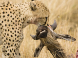 Cheetah (Acinonyx Jubatus) with Prey in its Mouth