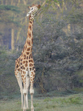 Rothschild's Giraffe Stretching its Long Neck to Eat from High Acacia Tree