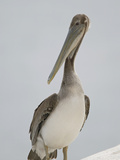 Immature Brown Pelican  Pelecanus Occidentalis  California  USA