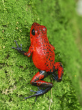 Strawberry Poison Frog (Dendrobates Pumilio)  Cahuita National Park  Costa Rica