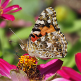 Underside of Wings of Painted Lady (Vanessa Cardui) on a Zinnia Blossom  Oregon  USA