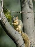 Fox Squirrel (Sciurus Niger) Holding a Nut  Montana  USA