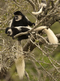 Black and White Colobus Monkeys (Colobus Guereza) in Tree  Mount Kenya National Park  Kenya  Africa