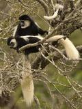 Black and White Colobus Monkeys (Colobus Guereza) in Tree  Mount Kenya National Park  Kenya  Africa