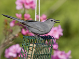 Gray Catbird (Dumetella Carolinensis) at Feeder  New Hampshire  USA