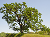 Oregon White Oak (Quercus Garryana) in an Oak Savanna of Southwest Oregon  USA