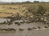 Wildebeest (Connochaetes Taurinus) During River Crossing in the Masai Mara Game Reserve  Kenya