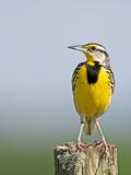 Eastern Meadowlark (Sturnella Magna)  Florida  USA