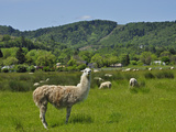Llama (Lama Glama) Guarding Sheep in a Pasture  Southwest Oregon  USA