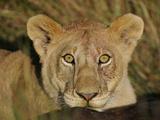 African Lion Young Male on Wildebeest Carcass  Maasai Mara  Kenya