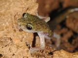 Supramonte Cave Salamander (Speleomantes Supramontis) in a Cave  Endemic to Sardinia  Italy