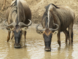 White-Bearded Wildebeests or Gnus  Connochaetes Taurinus  Drinking from a Waterhole