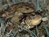Common Toads in Amplexus (Bufo Bufo)  Switzerland