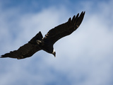 Andean Condor (Vultur Gryphus) Flying  Torres Del Paine National Park  Chile  South America