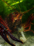 Red Swamp Crayfish (Procambarus Clarkii) Eating an Adult Frog