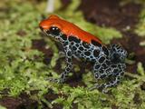 Reticulated Poison Dart Frog (Ranitomeya Reticulatus)  Allpahuayo Mishana National Reserve  Iquitos