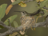 Black-Chinned Hummingbird Female (Archilochus Alexandri) on a Nest in an Oak Tree