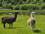 Llamas (Lama Glama) Guarding Sheep in a Pasture  Southwest Oregon  USA