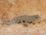 Semaphore Rock Gecko (Pristurus Rupestris)  Mountains of Yemen