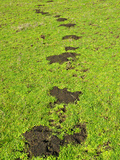 Mole Mounds in a Meadow (Scapanus)
