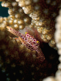 Coral Crab (Trapezia Wardi) Feeds from Inside the Protection of Pocillopora Coral Heads
