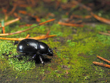 Forest Dung Beetle (Geotrupes Stercorosus)  Estonia