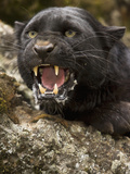 Leopard or Black Panther (Panthera Onca)  Melanistic Morph  Growling and Snarling  Captivity