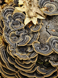 Turkey Tails (Trametes Versicolor) Growing on a Stump  Southwest Oregon  USA