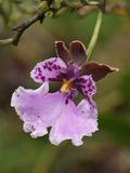 Orchid Flower  Puracâ» National Park  Department Cauca  Colombia