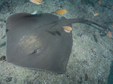Roughtail Stingray (Dasyatis Centroura)