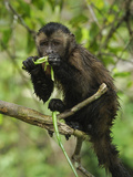 Tufted or Brown Capuchin (Cebus Apella)  Pacaya-Samiria National Park  Peru